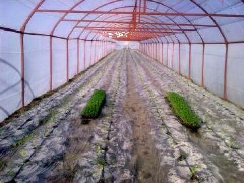 Solarii legume